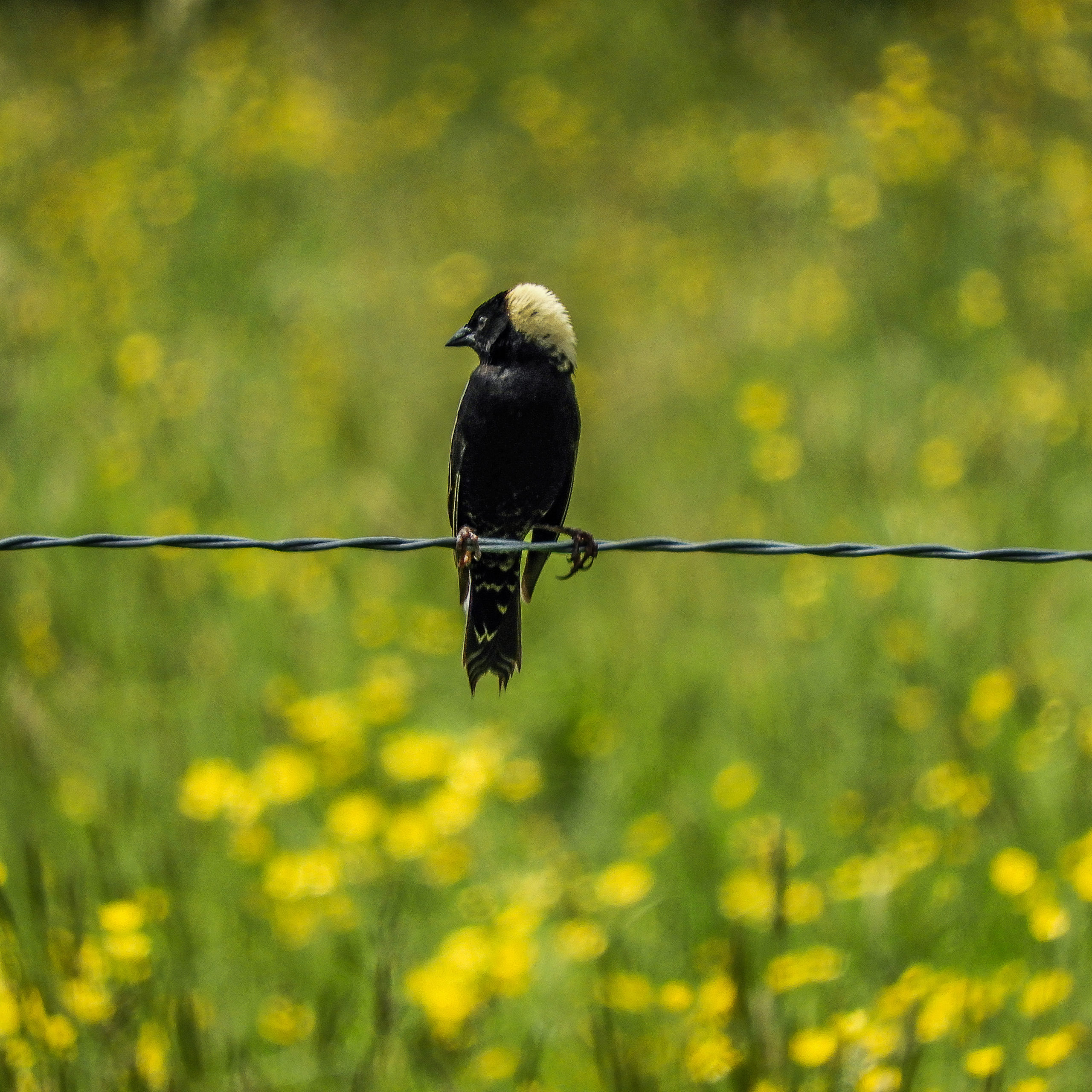 Bobolink bird sits on a fence wire and looks to the left