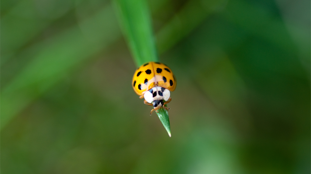 A lady beetle perched on the tip of a blade of grass