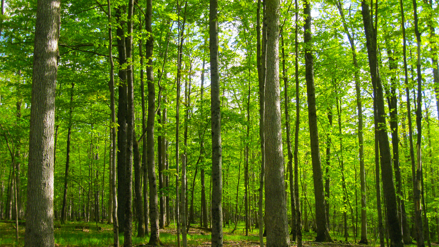 A forest of green summer trees
