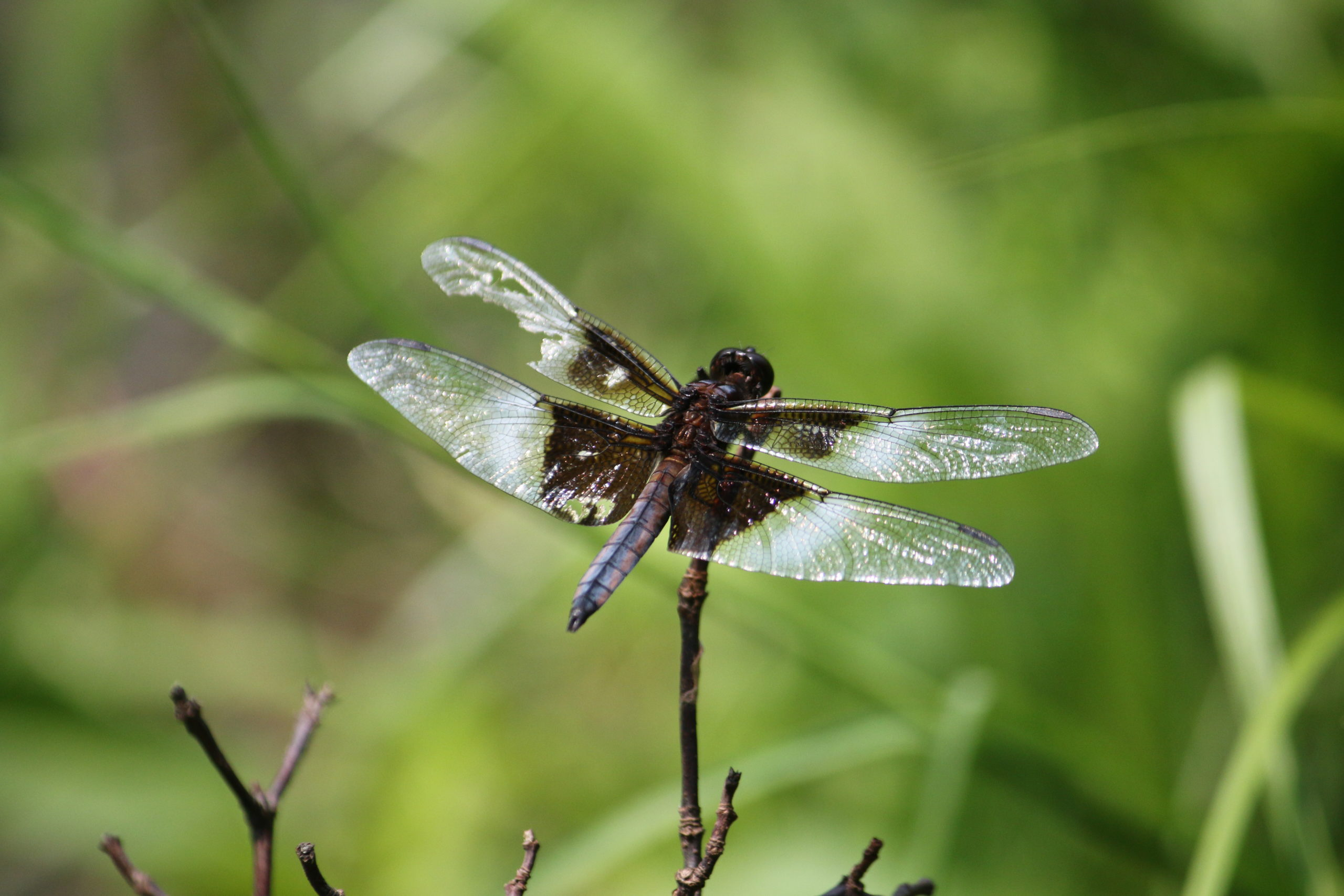 A dragonfly perches on top of a branch, wings spread wide