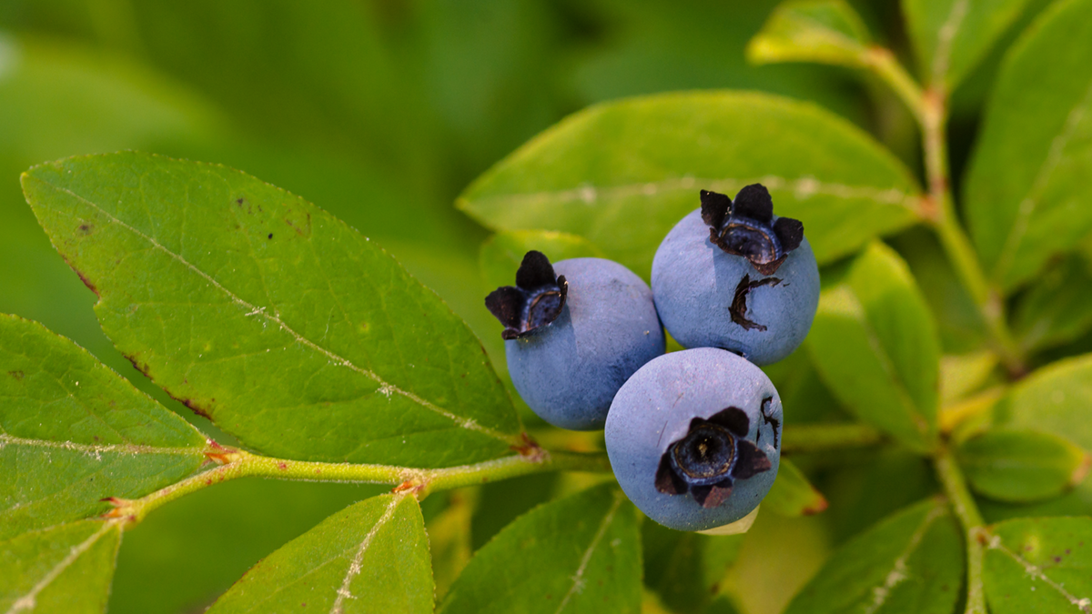 Ripe blueberries on a branch